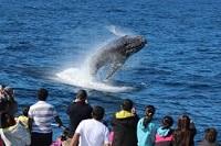 野生のザトウクジラを間近で見るチャンス!!【冬季限定】日本語ガイド&送迎付き!クジラウォッチングクルーズ