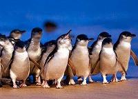 メルボルンで人気の日本語ツアー!!【Mr.John Tours】なるほど ザ・ペンギンツアー(日本語ガイド)