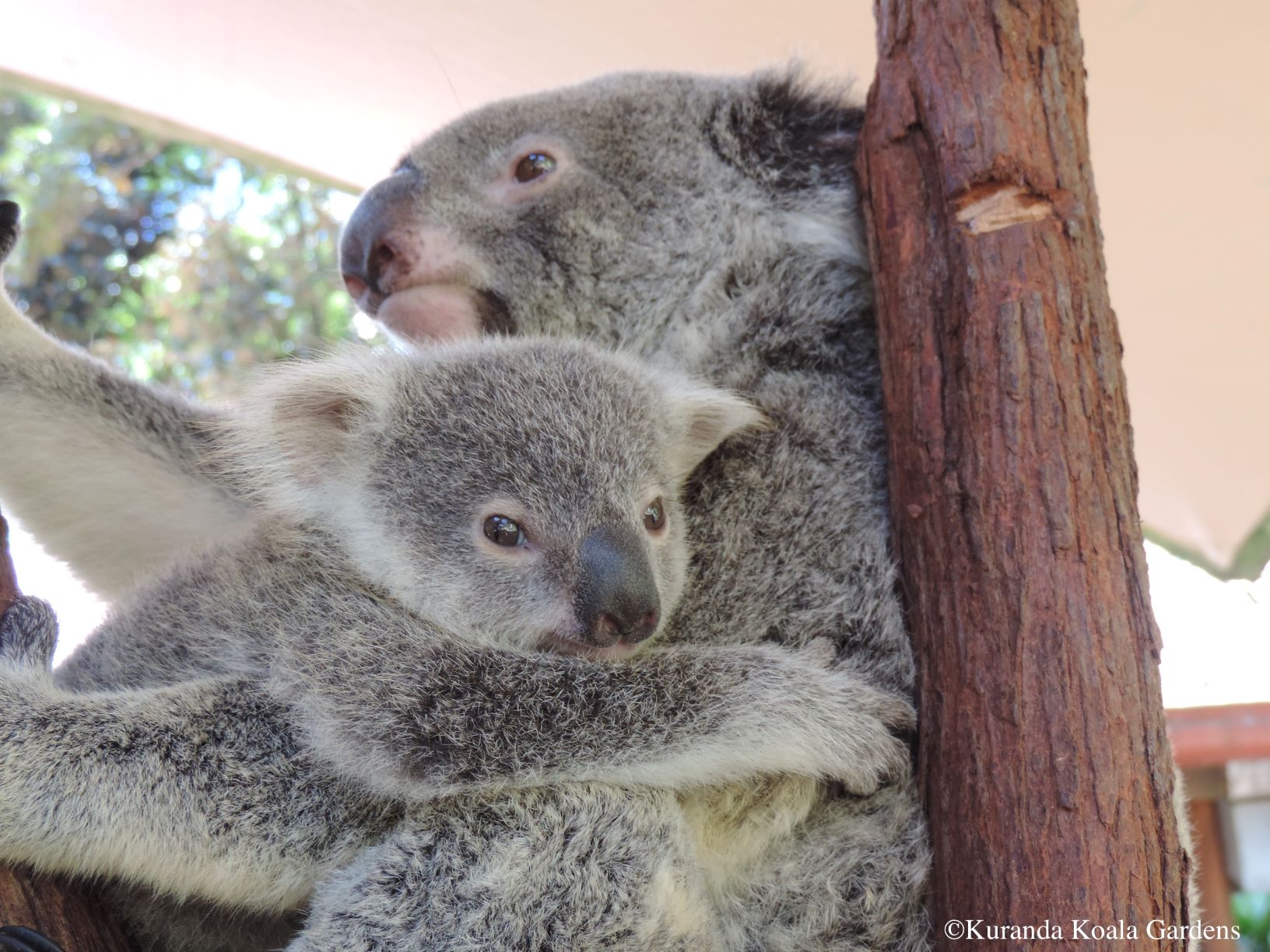 ケアンズ コアラを眺めながらの朝食! コアラと一緒に朝ごはん コアラ抱っこ写真付き