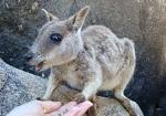 パームコーブのオーストラリアの動物 オプショナルツアー