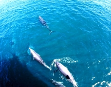 シドニーのイルカウォッチング オプショナルツアー