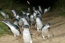 メルボルンのフィリップ島・ペンギンウォッチング オプショナルツアー