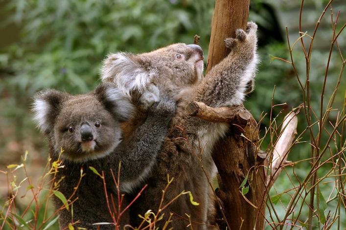 メルボルンのオーストラリアの動物に会える オプショナルツアー