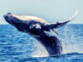 ゴールドコーストのクジラ、イルカウォッチング オプショナルツアー