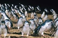 【Great Sights】ペンギンパレード