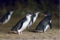 【JMG TOURS】リトルペンギンウォッチングと動物ふれあい体験